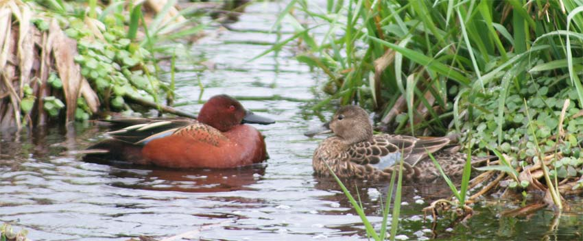 This image has an empty alt attribute; its file name is Cinnamon-Teal-for-Cal-rice-poster-for-ws.jpg